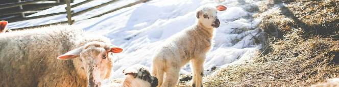 FOLLOW THE SHEPHERD